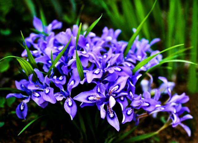 각시붓꽃 하나로갤러리.jpg