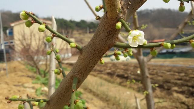매화꽃.png