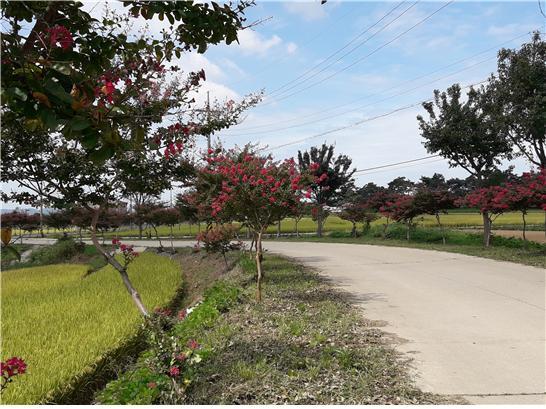 부석사로 향하는 마을길 양쪽에 붉게 핀 배롱나무들.jpg