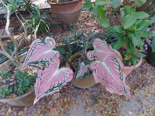 담마마마까 수행센터 꾸티앞 정원에 핀 이름모를 식물의 이파리. 이파리가 곧 꽃이다..jpg